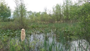 With abundant cattails and lily pads, the wetlands in the Jasper-Pulaski Fish & Wildlife Area resemble the Florida Everglades, much like the Grand Kankakee Marsh would have looked.